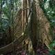 Inny gigant amazoński