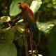 Amazońskie Macaw