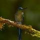Kolibry z regionu wschodniej kordyliery