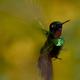 Kolibry z regionu wschodniej kordyliery Andów