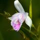 """Dzika orchidea..."""