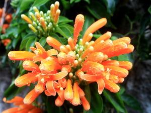 Roślina pnąca krzyżówka