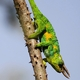 Three-horned Rwenzori Chameleon
