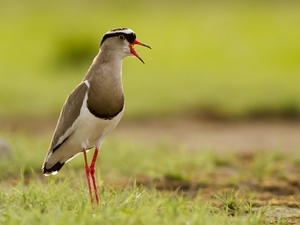 2. Crowned Lapwing