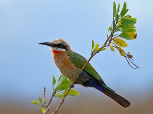 15. White-fronted Bee-eater